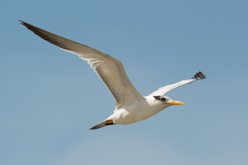 Royal Tern (Sterna maxima) in Flight