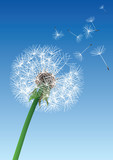 vector dandelion on blue background - 59492358