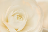 Ivory and rose camellia