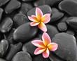 Two frangipani flowers on black pebbles