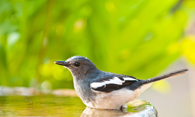 Oriental Magpie Robin is drinking water