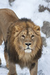 Siberian lion is looking straight into the camera.