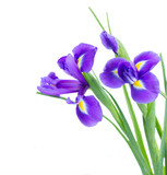 blue irise flowers close up