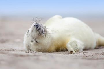 Robbenbaby auf der Helgoländer Düne