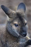 Face portrait of a forest wallaby, Dendrolagus bennettianus.