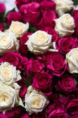 Rote Weiße Rosen