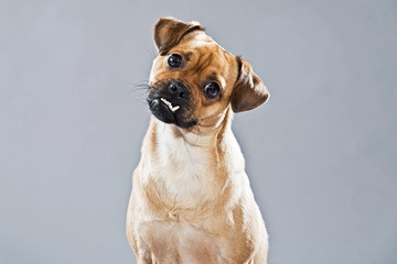 Mixed breed dog pug and lhasa apso. Studio shot against grey.