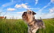 cute miniature schnauzer on green grass over blue sky