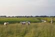 sheep on green pasture