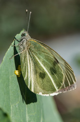 Mariposa de la col (Pieris brassicae) poniendo huevos