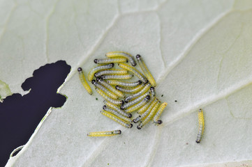 Larvae of the large cabbage white butterfly on brassica leaves