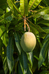 Mango Fruit Growing on the Tree