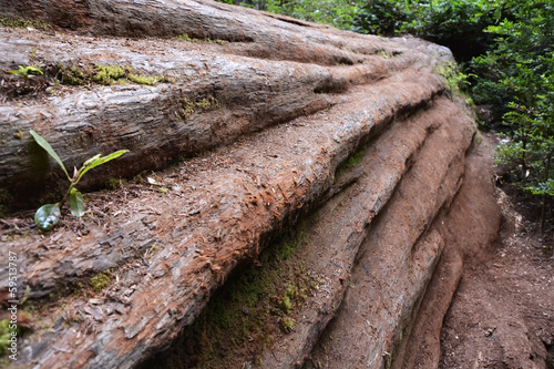 Sequoia trunk closeup