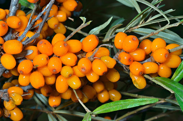 Branch of sea-buckthorn 1