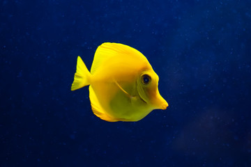 Fish, yellow tang in water