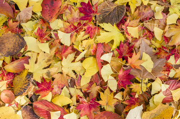 Colorfull autumnal leaves