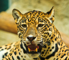 Jaguar is an animal in Central America and South America