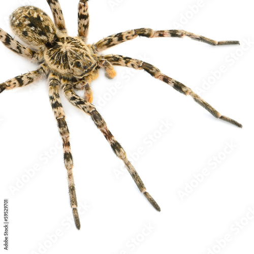 tarantulas spider isolated on white background