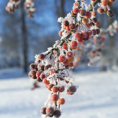 Winter Rowanberries