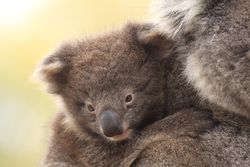Baby Koala on Mother's Back
