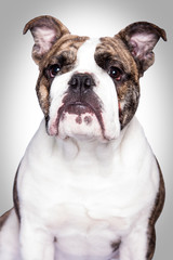 Old English Bulldog Portrait