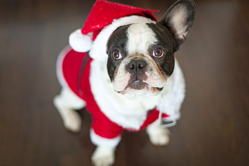 French bulldog dressed up in santa costume for Christmas