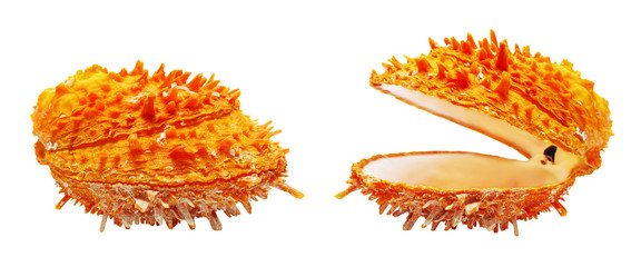 Two orange seashell