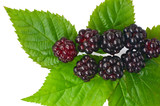 fresh blackberries with leaves on white