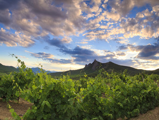 Panorama of the vineyards at sunset