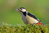 Great woodpecker green background