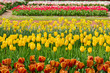 holland tulips field
