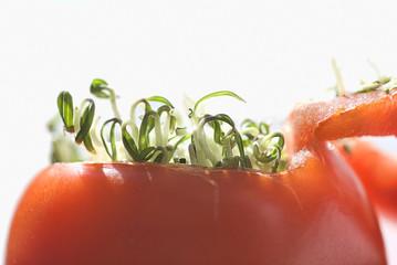 Viviparous Tomato