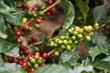 Kaffeekirschen - 59548798