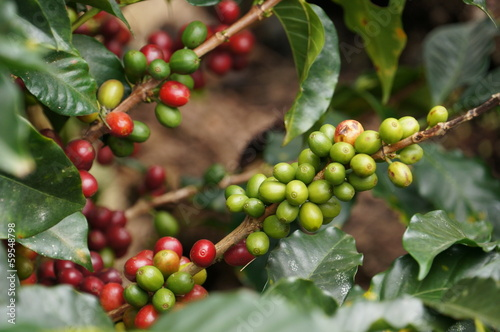 Poster Water planten Kaffeekirschen