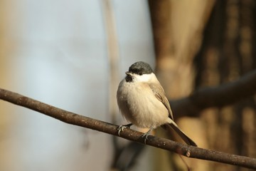 Marsh Tit (Parus palustris) heated in the sun after a cold night