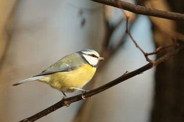 Blue tit (Parus caeruleus) walking along a branch