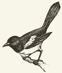 "Vector drawing of a series of sketches ""Birds"". Magpie"