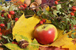 Autumn colors, bright autumn leaves and apple .