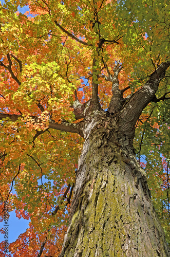 Colorful Maple Tree
