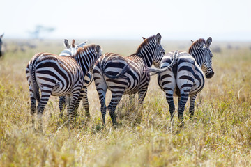 Three zebras from behind