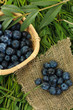 Blueberries in wooden basket and sackcloth on grass