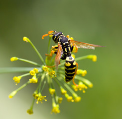wasp on a flower. macro