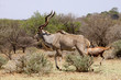 Large Kudu Bull Walking