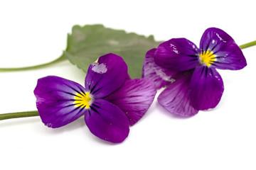 Viola cornuta (horned violet), isolated on white