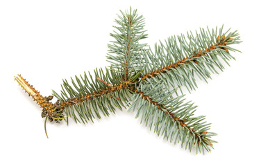 natural branches isolated on white spruce