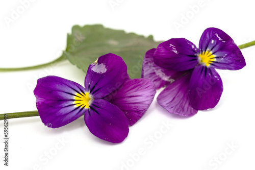 Viola cornuta (horned violet), isolated on white