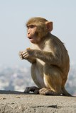 Baby rhesus macaque looking surprised