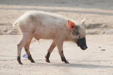 Pink piglet with muddy feet and snout