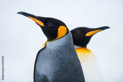 Fotobehang Vogel King Penguin Couple in love
