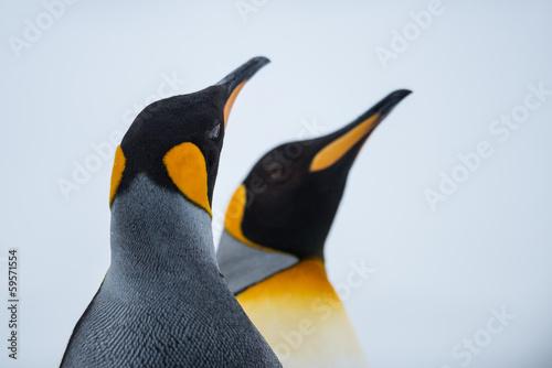 Deurstickers Antarctica King Penguin Couple in love